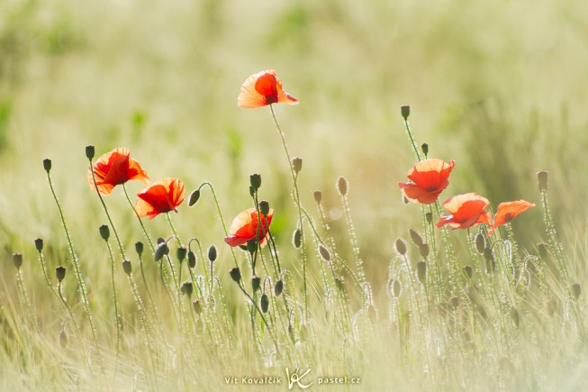 Poppies, captured using a decades-old lens. Canon EOS 7D, Pentacon 135 mm F2.8, 1/1250 s, F2.8, ISO 100.