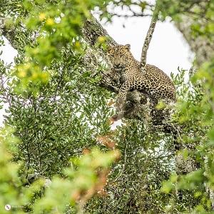 leopard_small