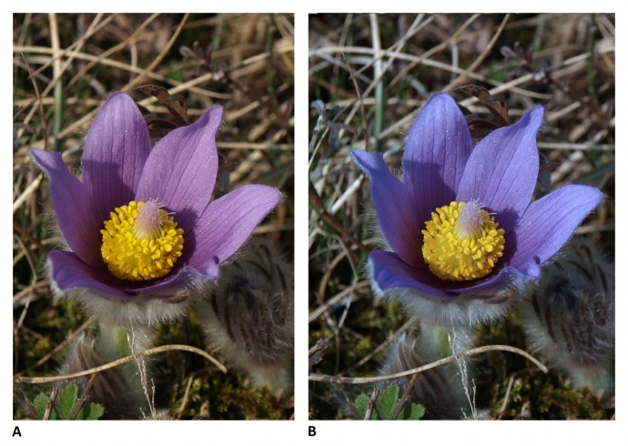 "Which color is right? Pasque flowers can be various shades of violet, from ""bluer"" to ""redder."" On the left: the original picture taken with automatic white balance; on the right: after shifting color temperature by 1400K in Zoner Photo Studio. Both colors are correct for some pasque flower somewhere, but only one is correct for this flower. Using a gray card enables you to find the correct color for the given site. Also note the shadow inside the flower. Using a reflector sheet to add light to the flower would help to soften the light. Photo date: March 24th, 2012. Olympus E-510, 14.00–42.00 mm, 1/100 s, F7.1, EV compensation −0.3, ISO100, focus (EQ35) 28 mm."