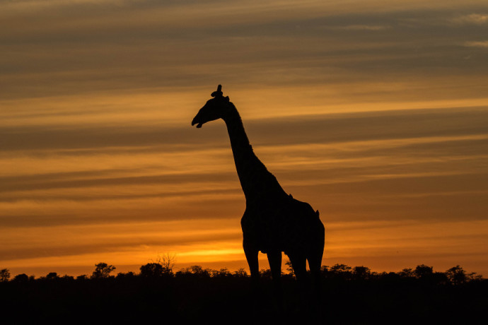 A truly striking giraffe silhouette. It could be even better, however, with more respect for the rules of composition. Author: Mashatu