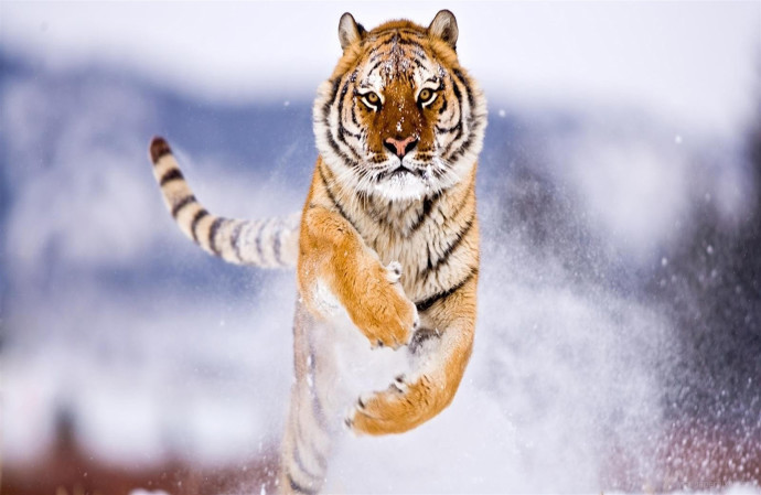 4k-image-tiger-jumping