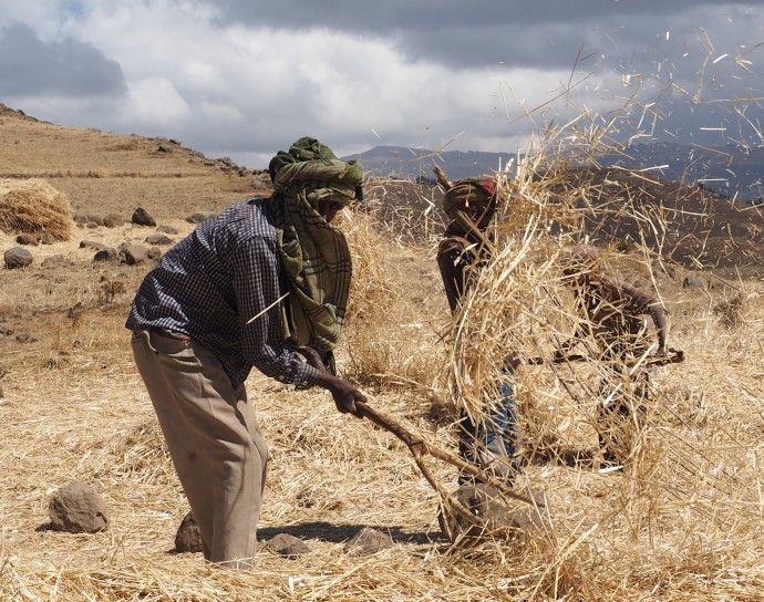 Grain harvest, Ethiopia, Jan 2014
