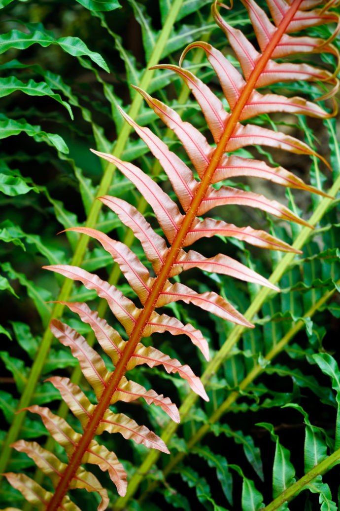 The red fern leaf contrasts well with the green leaves. Canon EOS 7D, EF 50/1.8 II, 1/50 s, f/3.2, ISO 400, focus 50 mm (80 mm equiv.)