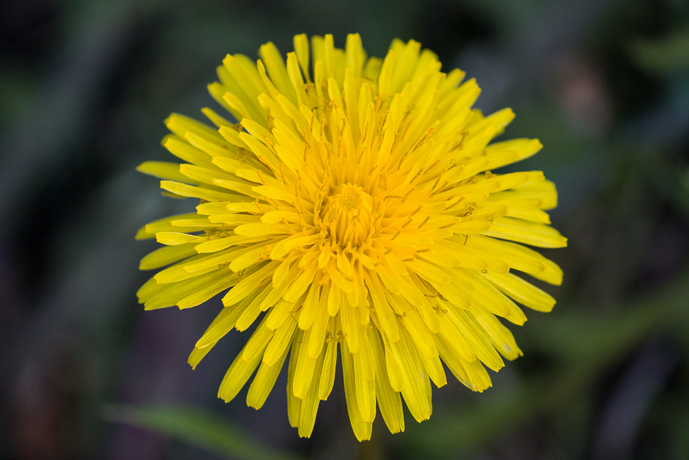 A dandelion photographed straightforwardly. Canon 40D, Canon EF-S 55-250/4-5.6 IS, 1/320 s, f/7.1, ISO 500, focus 250 mm