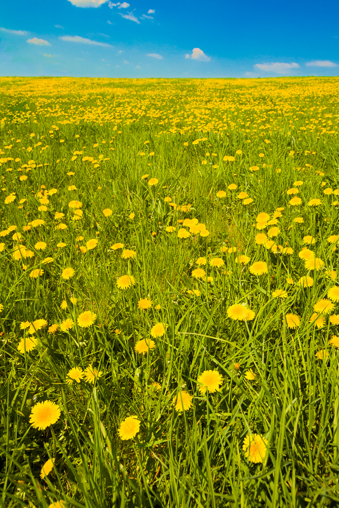A meadow full of dandelions. Canon 5D Mark II, Canon EF 16-35/2.8 II, 1/60 s, f/9.0, ISO 200, focus 23 mm