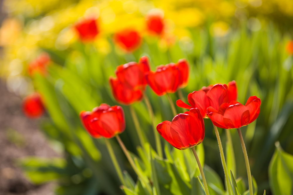 Tulips with a background: more tulips. Canon 5D Mark II, Canon EF 70-200/2.8 IS II, 1/500 s, f/4.0, ISO 100, focus 200 mm