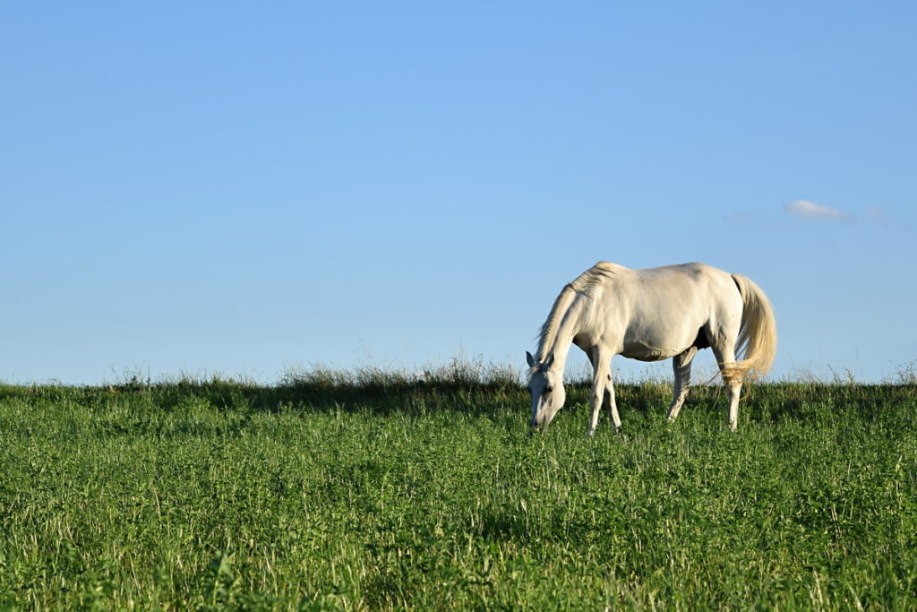 A photograph shot like this one here feels natural—the horse is grazing contentedly, and it has space in front of it that it can step into, which has a calming effect. Nikon D3300, AF-S NIKKOR 18-55 mm 1:3.5-5.6 G II, 1/640 s, f/5.6, ISO 200, focal length 55 mm