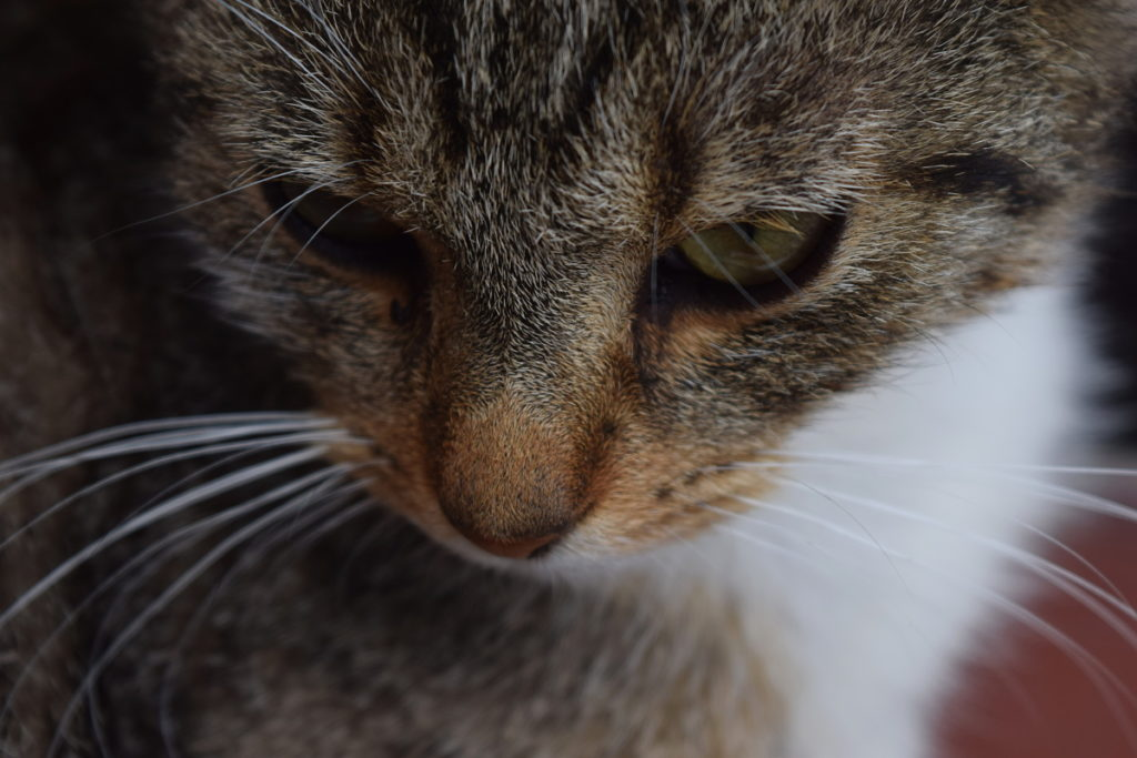 Notice how the crop was deliberately made to give a diagonal—the line leading from the whiskers at the bottom right across the mouth and the eye on over to the right corner. Nikon D3300, AF-S NIKKOR 18-55 mm 1:3.5-5.6 G II, 1/200 s, f/5.6, ISO 200, focal length 55 mm.