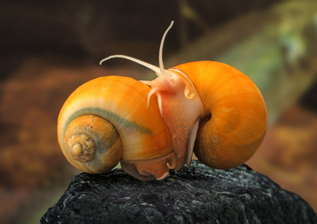 The apple snail is a commonly bred aquarium snail. Nikon D800, Tamron 180/3.5, 1/80 s, f/8, ISO 800, focal length 180 mm