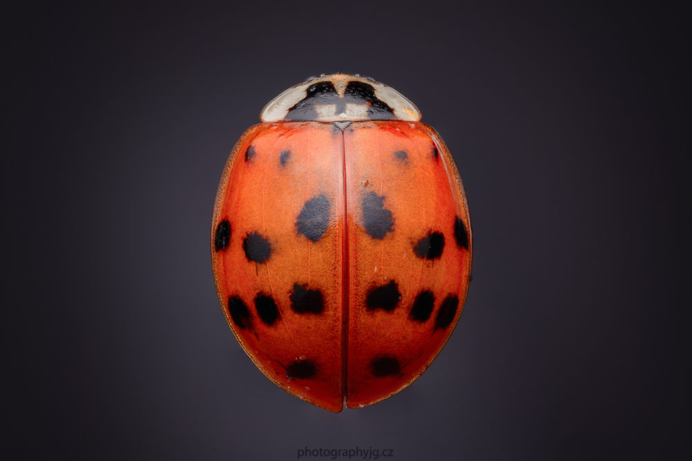 A ladybug killed with ether and then photographed at home with a black background using focus stacking. Nikon D7100, Tamron SP 90mm f/2.8 Di Macro VC USD, 27x 1/60 s, f/16, ISO 125, focal length 135 mm (EQ 35mm: 90 mm)