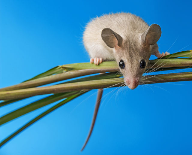 For this photograph of a Cairo spiny mouse, I chose a blue piece of paper as my background, and let the mouse climb freely up a reed.