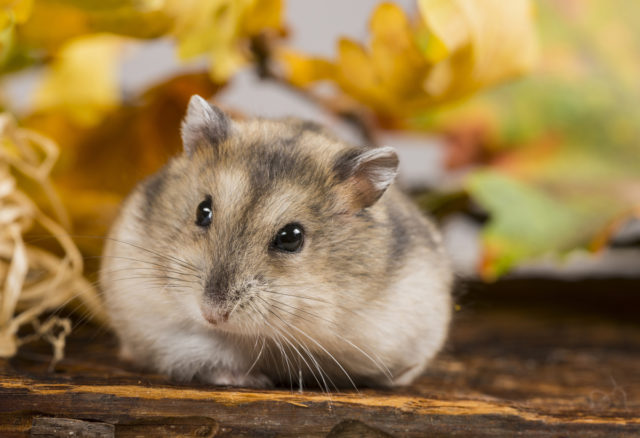 For this photo of a hamster, I used bark as a background, along with colored autumn leaves and a little straw.