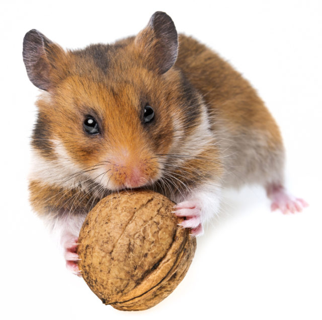 The hamster is trying to reach the walnut and isn't running outside of the scene.