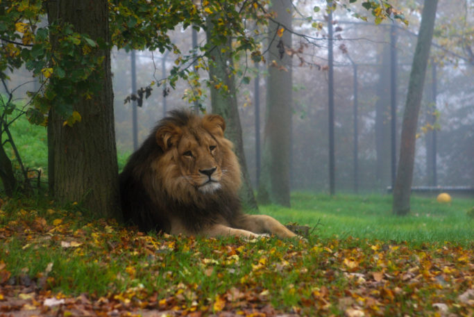 6 Tips for Shooting Outdoors: lion in the foggy weather.