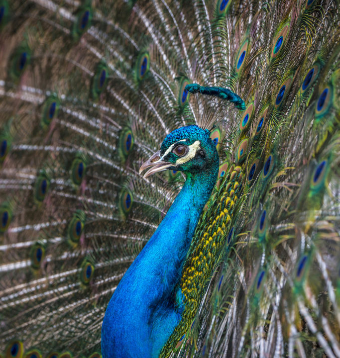 How to Photograph Animals at the Zoo: peacock.