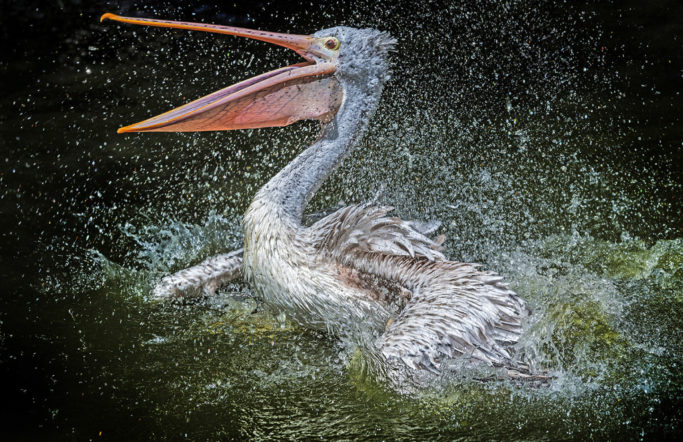 How to Photograph Animals at the Zoo: a bathing pelican.