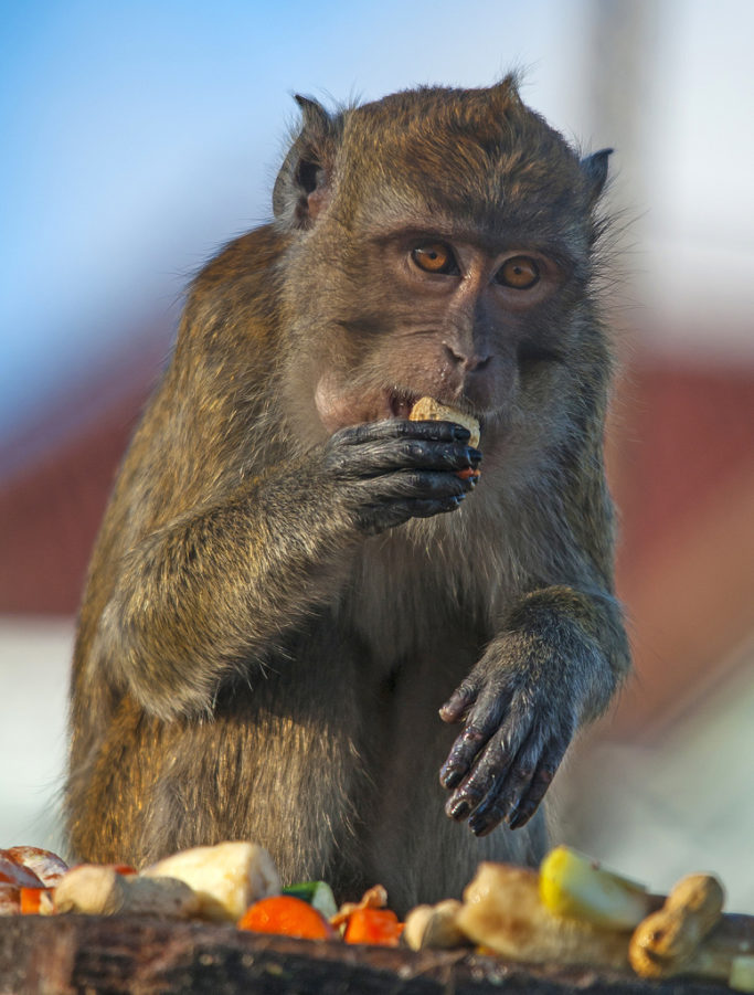 How to Photograph Animals at the Zoo: monkey ahead of a blurred background.