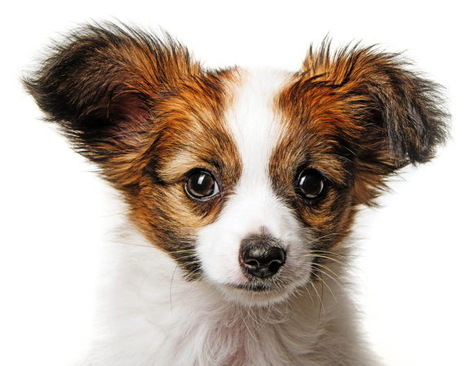 How to Photograph Dogs: photo of a puppy on a white background.