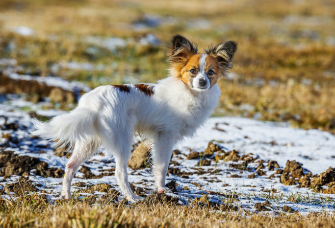 How to Photograph Dogs: photo of a dog taken by a telephoto lens.