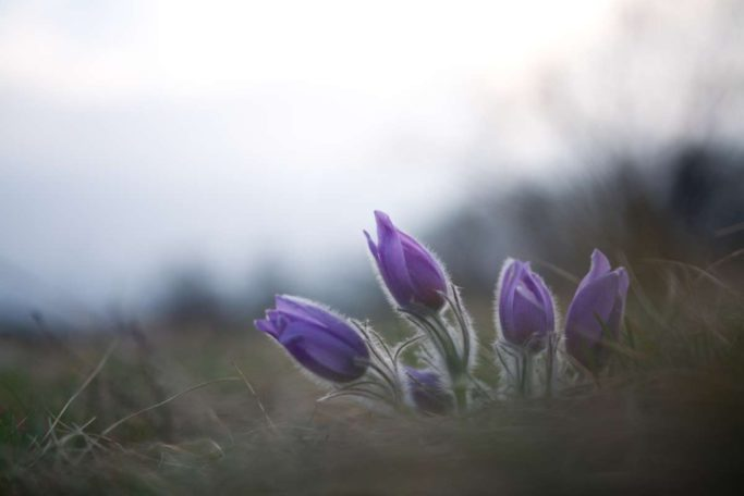 Bring Flower Photos to Life: unedited pasqueflower.