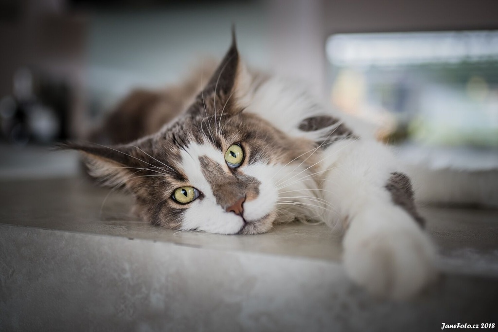 How to Take Cat Photos That Will Attract and Amuse - mainecoon