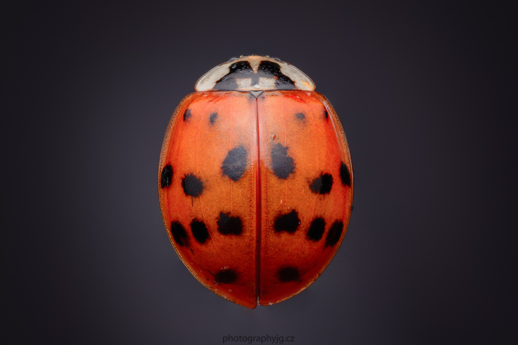 You Can Do Macro at Home - ladybug