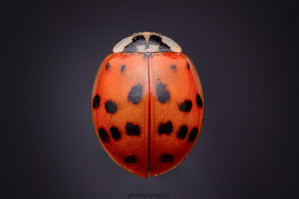 You Can Do Macro at Home - ladybug