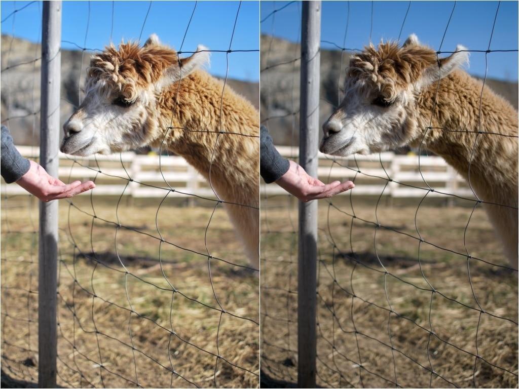 RAW vs. JPG - llama