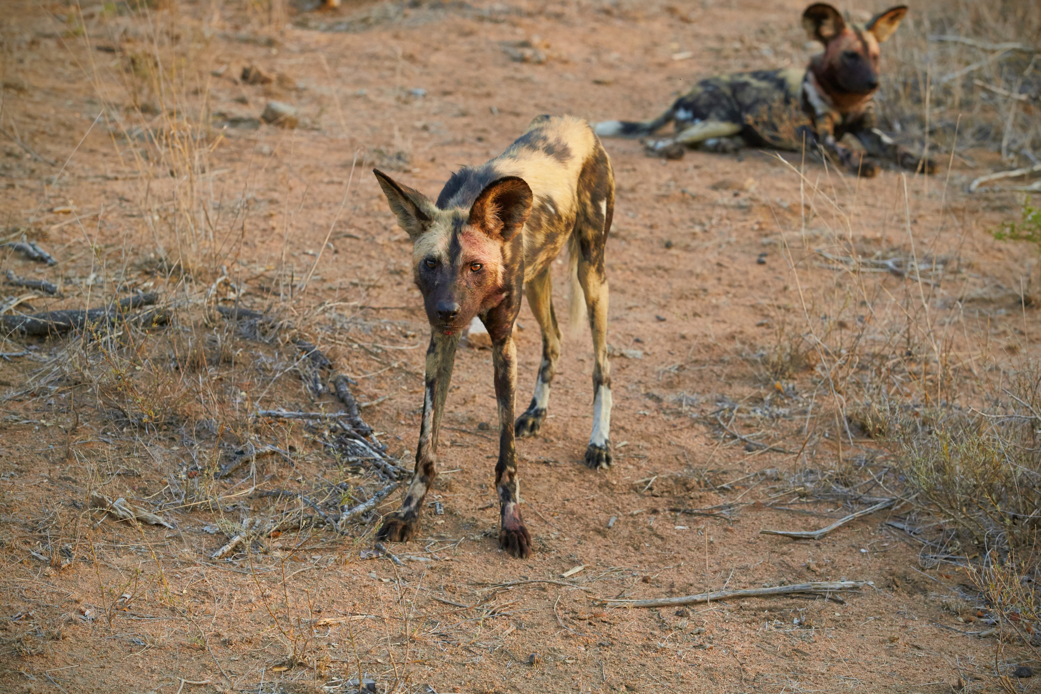 A Photographic Journey to Meet African Wild Dogs – The Continent's Uncapturable Shadows